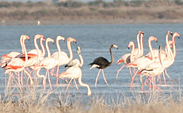 black flamingo akrotiri